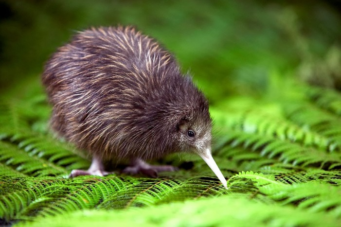 New Study Changes Thinking on Evolution of Flightless Birds