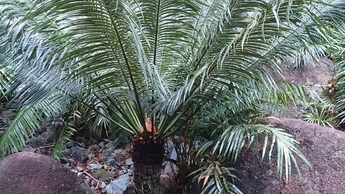 Beware: Sago Palm Will Kill Dogs