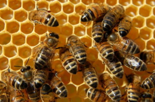 Scientists Say Mystery Why Honey Bee Populations Have Collapsed Due to Insecticides