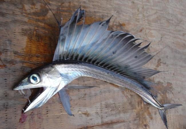 Terrifying Looking Lancet Fish Washes Up on North Carolina Beach