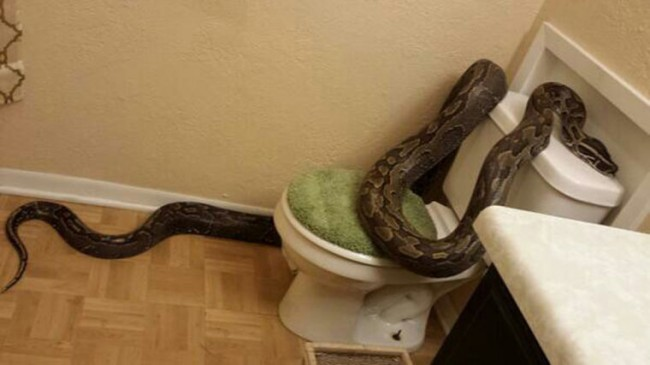 Texas Woman Lives Nightmare When She Finds African Python In Her Bathroom