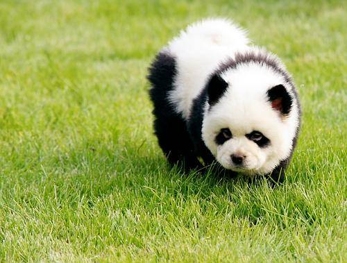 Wonderful Panda Chubby Adorable Dog - The-Panda-Dog-Is-the-Newest-Rage-in-China  HD_917052  .jpg