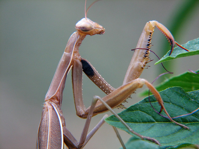 'Vicious' New Kind of Praying Mantis Has Been Discovered