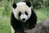 Panda Nanny Job in China Now Accepting Applications