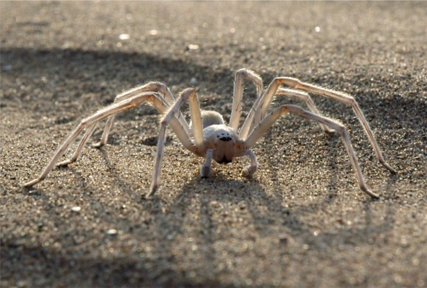 Moroccan Flic-Flac Spider Inspiration for Energy-Saving Spider Robot