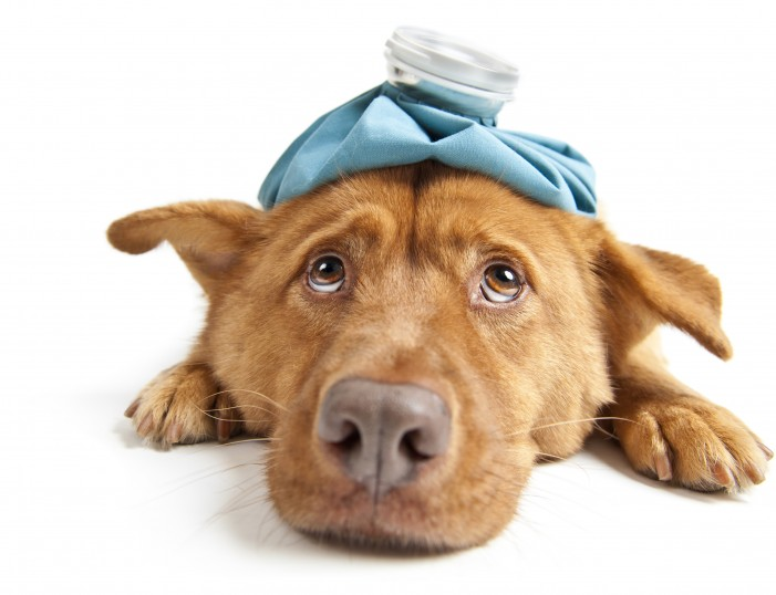 Canine Influenza Hits Massachussetts and Rhode Island
