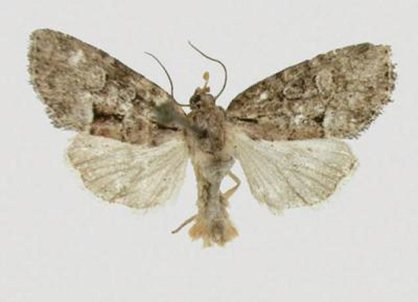 Moth Species Discovered Over 50 Years Ago Named After Cherokee Chief
