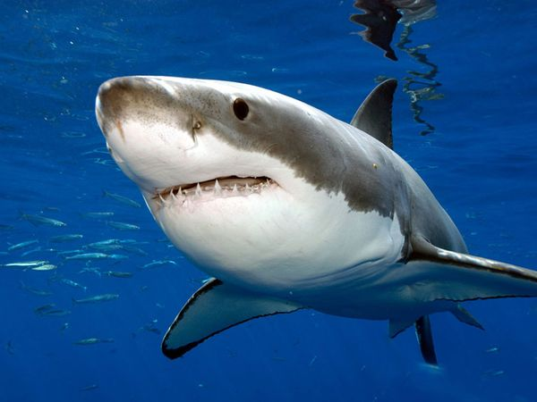 Did a Mythical Creature Eat a Great White Shark? (Video)