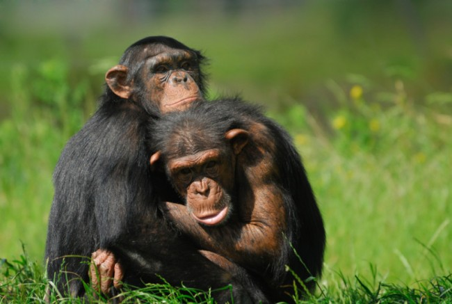 Scientists Believe Herpes Virus in Humans First Started in Chimpanzees