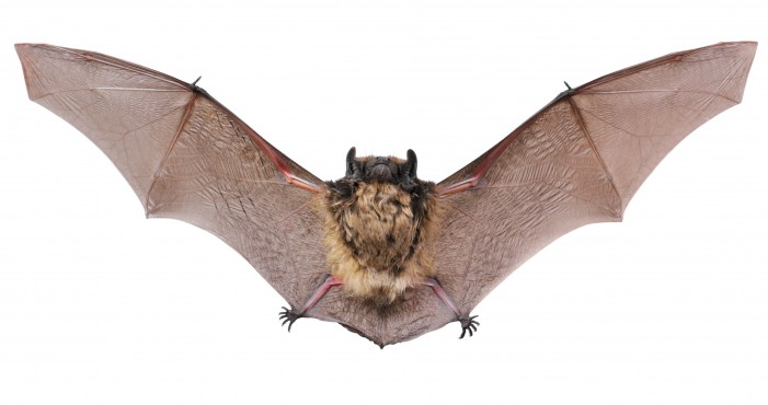 Bats: Common Myths and How to Repel Them