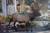 Boulder Elk Trial Guilty