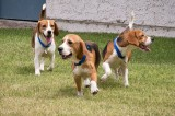 Beagles Rescued From Animal Abuse See Sun and Grass for First Time [Video]