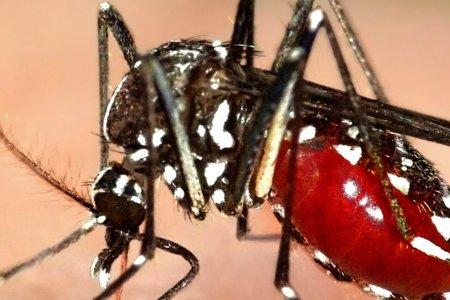 Chikungunya Mosquito Virus Getting More Attention in the U.S.