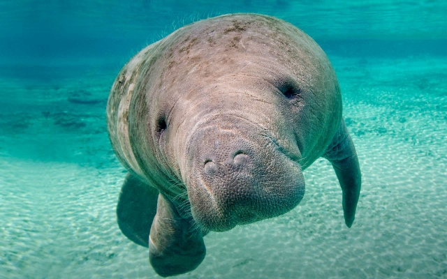 Endangered Species of Manatee Needs its Status Lowered, Says Non-Profit