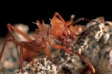 Ants May Be Key in Developing New Antibiotics