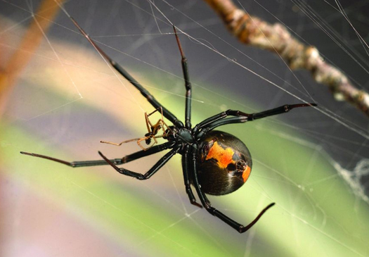 Cannibalism in Spiders: New Data Unraveled
