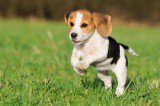 Dogs With Floppy Ears: Study Offers Explanation