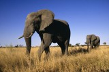 Elephants Shown to Likely Have a Huge Sense of Smell