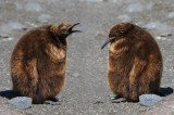 King Penguin Chicks Use Collective Decision Making to Find Home Spot