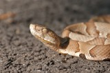 Missouri Man Dies After Being Bitten by Copperhead Snake