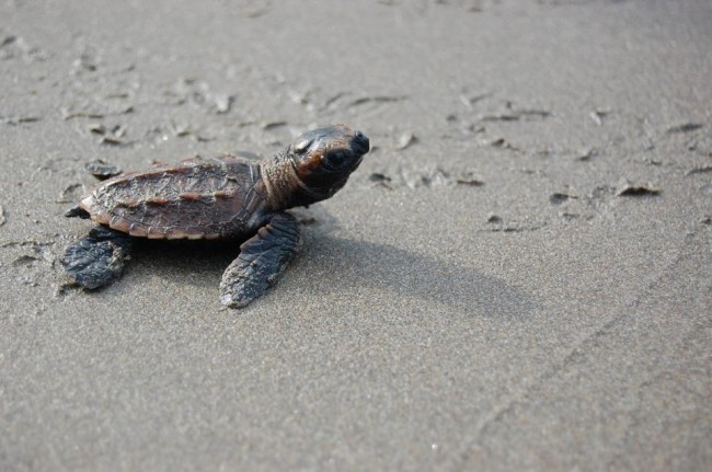 Video of Hatching Baby Sea Turtles Illustrates Success of Conservation Efforts