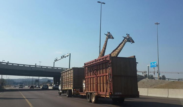Young Giraffe Dies After Hitting Its Head on Bridge