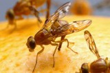 Pheromones: New Class Discovered in Fruit Flies