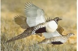 Sage Grouse Threatens DemocraticBalance of Power in the US Senate