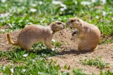 Prairie Dog Social Networking