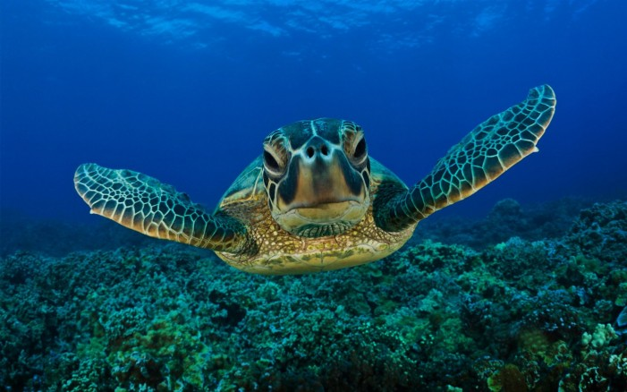 Sea Turtle Migrates From Costa Rica to Ecuador (Video)