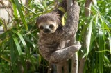 Endangered Species List Might Soon Include Pygmy Sloth