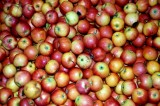 Apples: Hoping for a Decent Crop