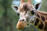 California Woman Kicked in the Face by Giraffe [Video]