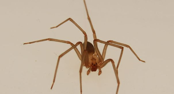 Michigan Woman Ends up Dying After Being Bitten by Brown Recluse Spider