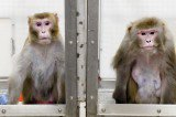 Monkeys Infected With Ebola Virus Survived After Treated With Drug ZMapp