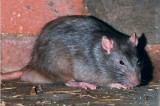 Rats Living Inside Dead Corpse Nearly Kill Autopsy Specialist