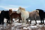 Iceland Horses Are Hardy Despite Hardships