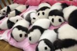 Pandas Helped by Human Fertility Techniques