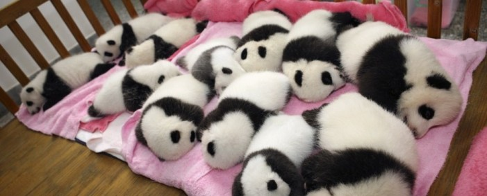 Pandas Helped by Human Fertility Techniques