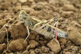 Locusts Darken Skies Above Capital of Madagascar