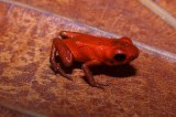 New Species of Poison Dart Frog Discovered