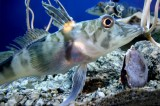 Antarctic Fish Use Antifreeze That Also Retains Ice in Their Blood