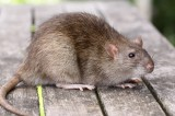 Rat Crisis in South Africa Gets Attention