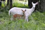 Albino Deer at the Center of Death Threats to 11 Year Old Michigan Boy