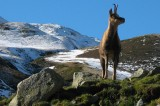Climate Change Is Causing Alpine Goats to Shrink