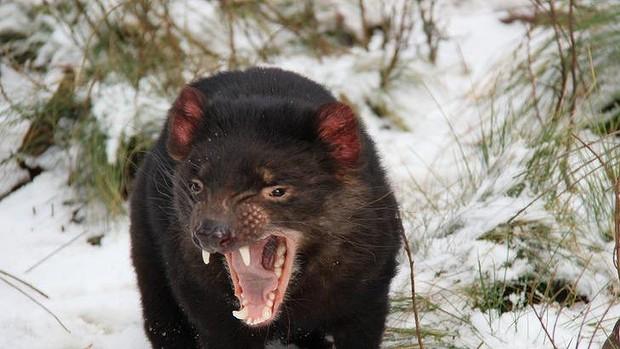 Tasmanian Devil Gets Head Crushed at U.S. Zoo