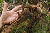 World's Largest Spider Is the Size of a Puppy (Video)