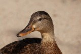 Bird Flu Discovered at Duck Farm in Yorkshire