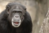 Chimpanzees That are Agressive Father More Offspring