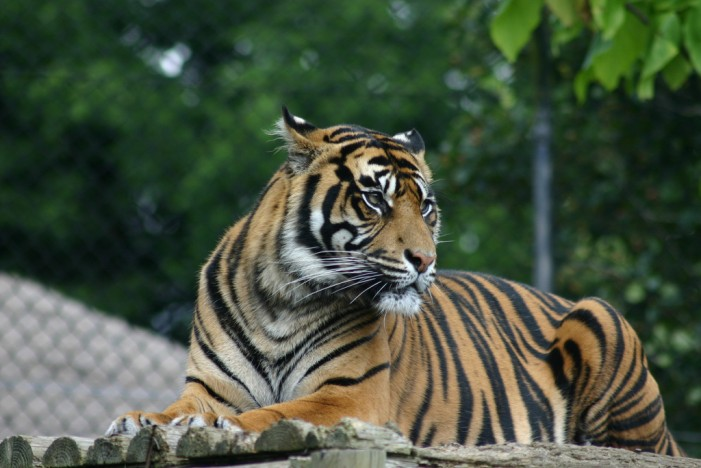 Disneyland Paris Threatened by Young Tiger on the Loose